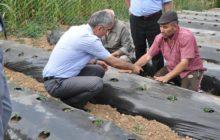 Çiftçilere Çilek Fidesi Dağıtımı Yapıldı