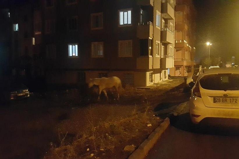 Kelkit'te Gece Gezintiye Çıkan At